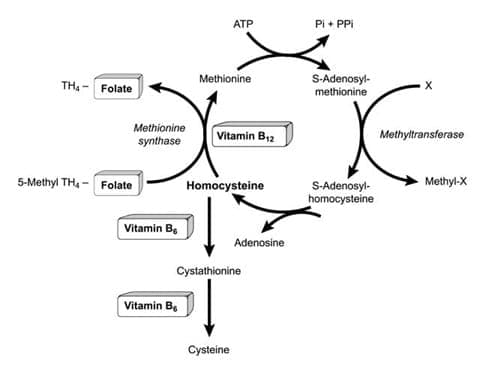 Homocysteine-pathways