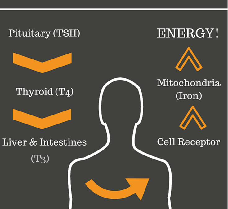 How Thyroid Hormones Work